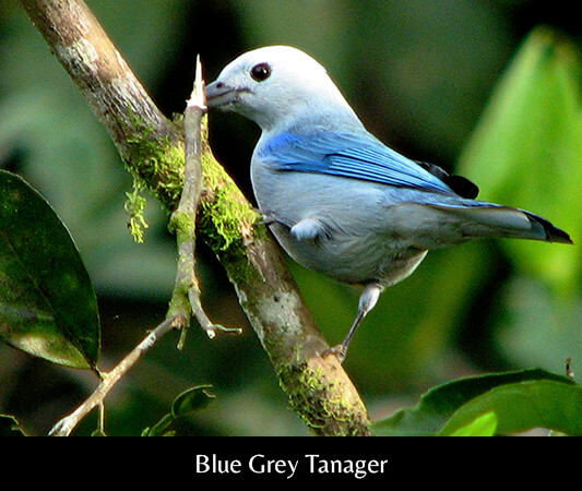 AME_Blue Grey Tanager