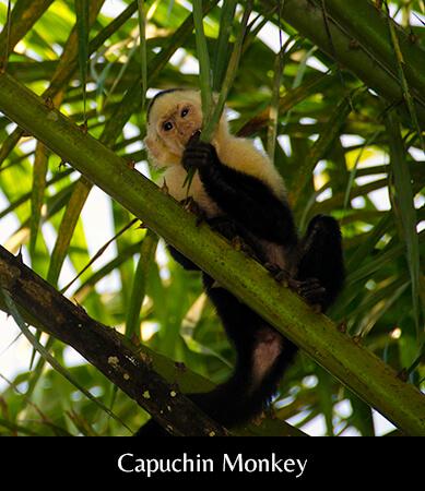 Capuchin monkey2