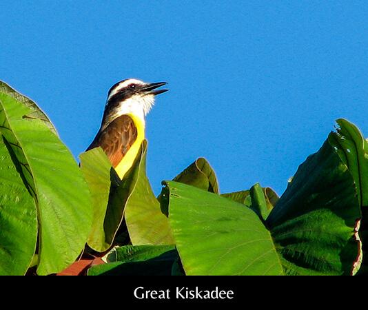 Great Kiskadee