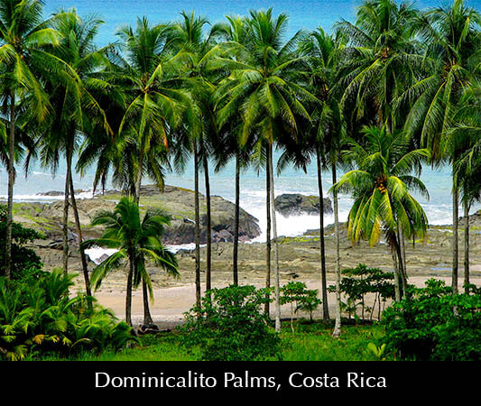 Dominicalito Palms